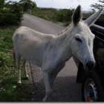 Donkey by car_01