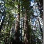 Redwoods-grove