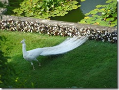 Isola Bella white peacock