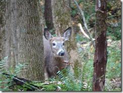 Mt Tom deer