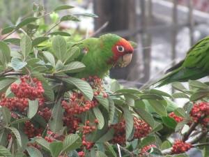 Wild Parrots outside my window