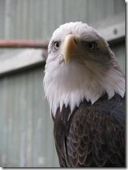 Woodstock 6 - VINS Bald Eagle