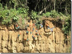 Macaws on the mineral lick 6-400