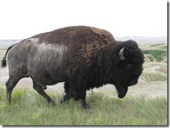 Animal - Buffalo (2)