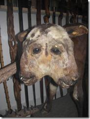 DW museum calf
