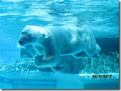 Lincoln Pk-Zoo-Polar Bear