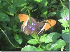 Fairchild-butterfly-g