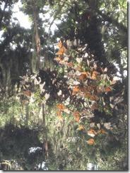 PAc Grove Butterflies