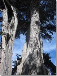 Pac Grove trees-close-g