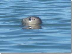 kayak-harbor seal-close-g