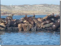 kayak-sea lions