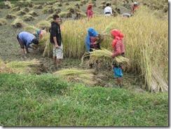 harvesting rice 02