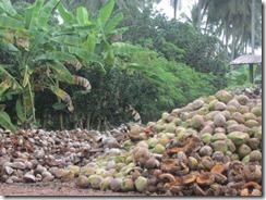 coconut farm 01