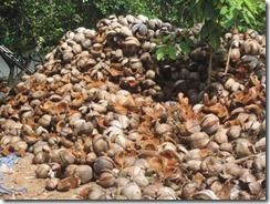 coconut farm husks