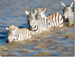 Zebras crossing the Maura