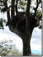hammercrop nest