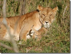 Lioness says stay away from my baby
