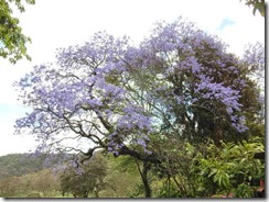 Gibbs farms jacaranda tree