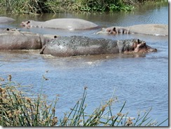 Hippos in water 03
