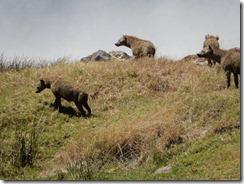 Hyenas on the hunt 03