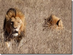 Male lions relaxing