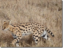 Serval cat on the hunt 01