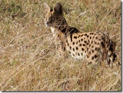 Serval cat on the hunt 03