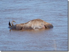 Wilderbeest carcus in the water