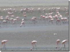 flamingos 02