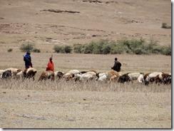 herding animals 01