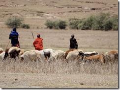 herding animals 02