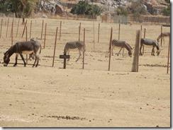 Donkeys 02