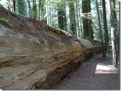 Redwoods-fallen tree length-g