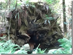 Redwoods-fallen tree root-g