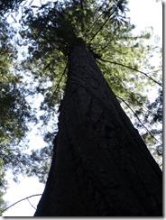 Redwoods-vertical