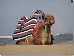 Camel on the Beach 01