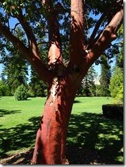 Adelaide botanic gardens arizona tree