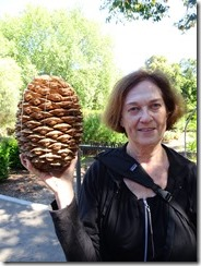 Adelaide botanic gardens pine cone