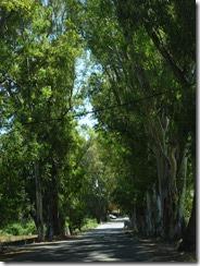 •Georgioupoli tree lined road