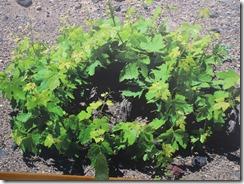 Boutari Winery vine 02