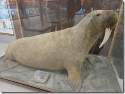 Itsanitaq museum walrus