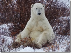 Polar Bear sitting up