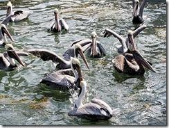 sea gulls feeding
