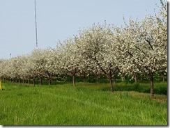 Gills Rock Apple Trees