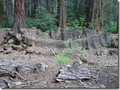 King's Canyon Centennial Stump