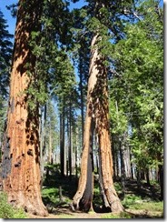 Mariposa Grove - Clothespin Tree