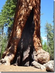 Mariposa Grove - Grizzley Giant