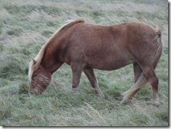 Icelandic horses 04