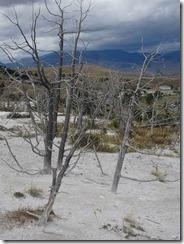 Yellowstone Mammogh Hot Springs dead trees