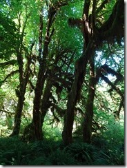 Hon Rainforest Maple Grove